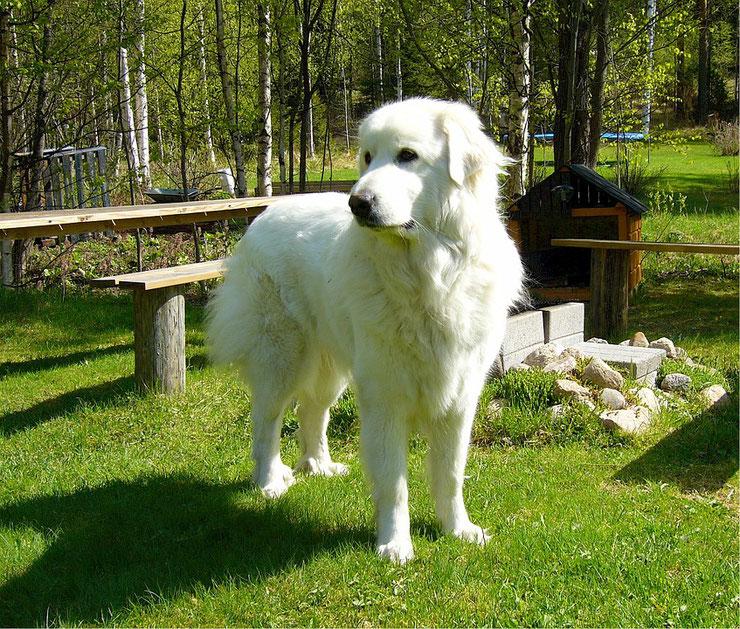 montagne des pyrenees patou fiche chien animaux race caractere comportement origine poil couleur