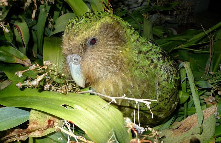 kakapo fiche oiseaux animaux