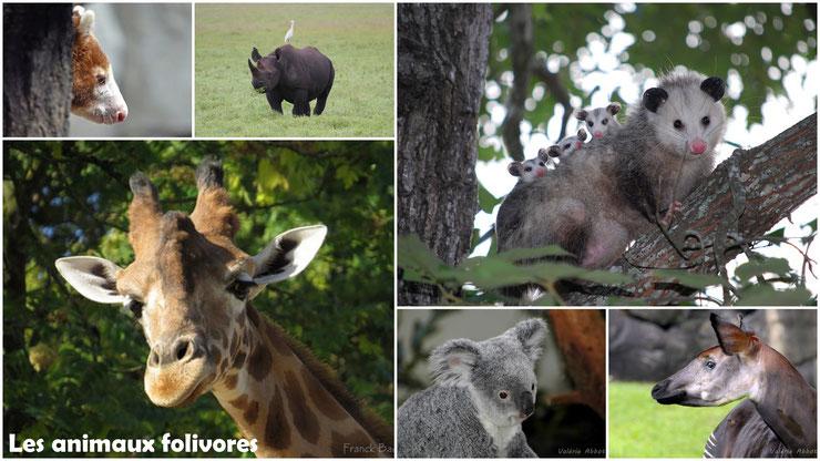animaux folivores