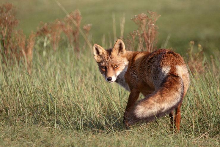 renard roux rusé fable de la fontaine