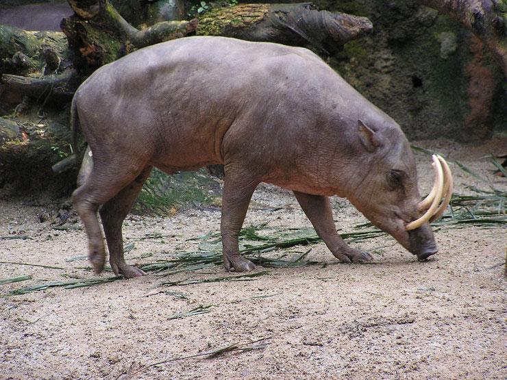 babiroussa fiche animaux indonesie taille poids habitat cochon sauvage