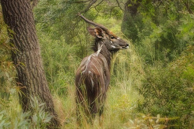 nyala fiche animaux afrique