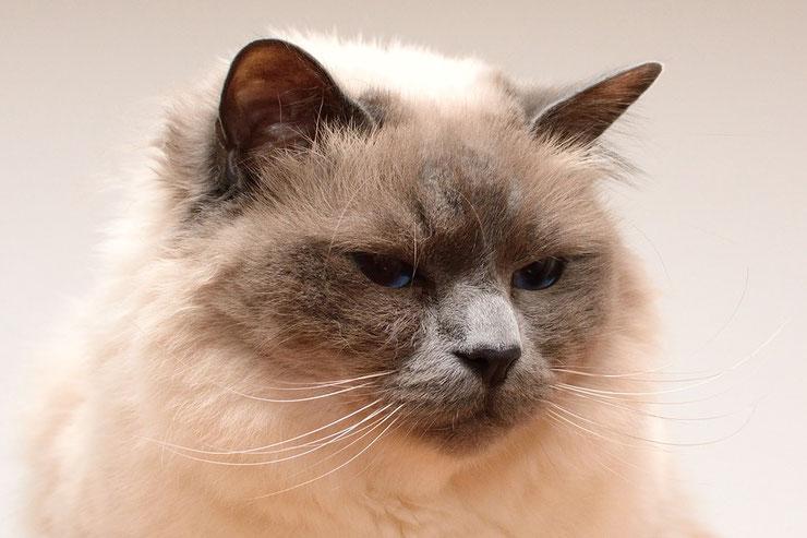 sacre de birmanie fiche chat animaux
