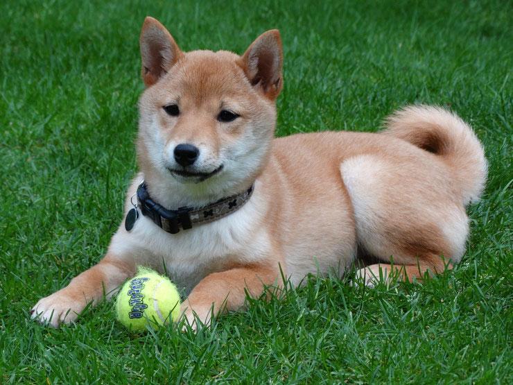 shiba inu fiche chien animaux caractere comportement origine poil couleur