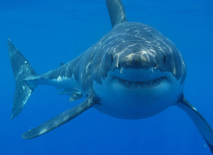 requin blanc fiche poissons mer animal facts fish great white shark sealife