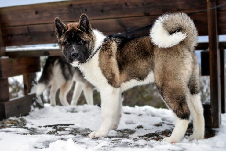 akita americain fiche chien comportement caractere origines poils sante