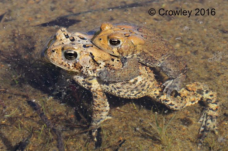 crapaud d'amerique american toad fiche factsheet batracien