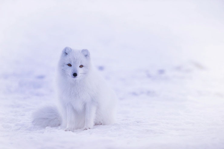 renard polaire blanc dans la neige banquise grand nord arctic fox