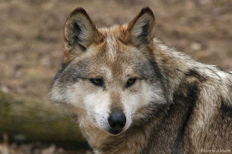 loup mexicain fiche animaux sauvages animal fact mexican wolf