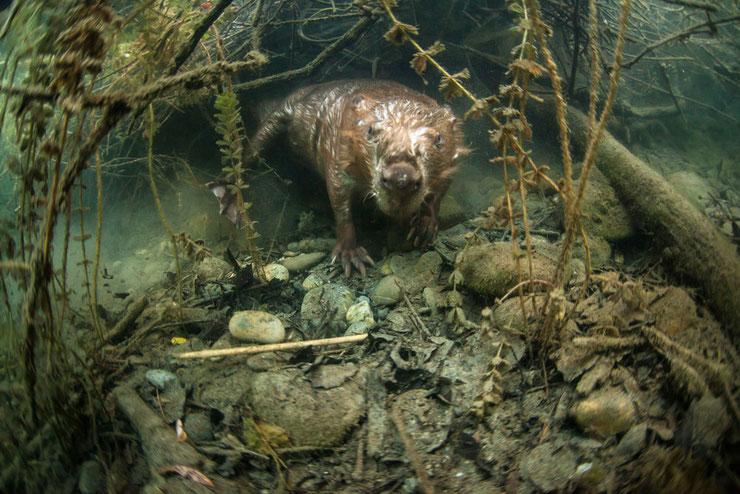 castor sous l'eau remi masson