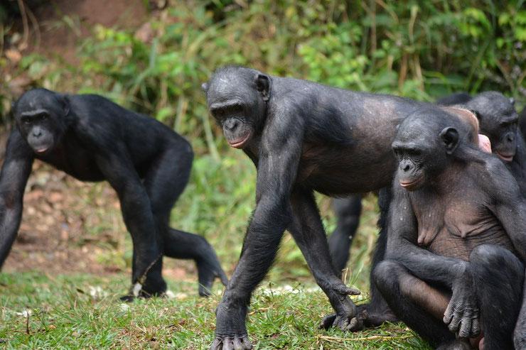 animaux noirs singe bonobo thematique