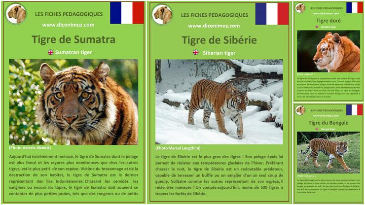 fiches animaux felin tigre pdf a telecharger et à imprimer pour l'ecole ou la maison  animals fact tiger siberian sumatran bengal golden siberie dore sumatra bengale