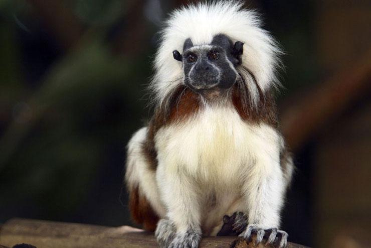 liste des animaux d'amazonie pinché a crete animal fact list monkey amazonian forest