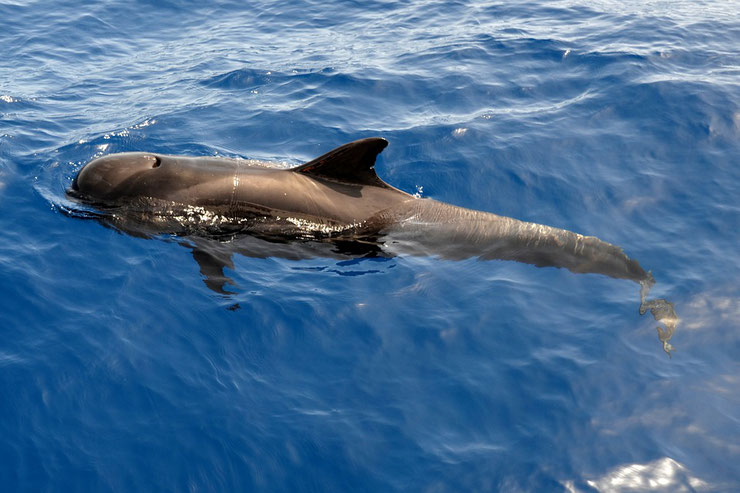 dauphin pilote fiche animaux marins globicephale noir