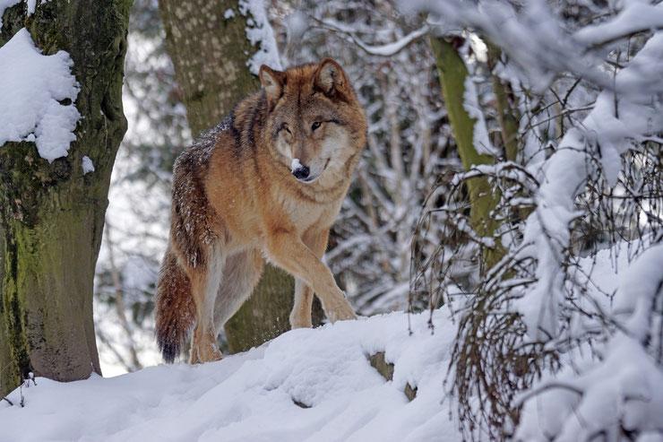loup dans la neige canada foret wolf in the snow