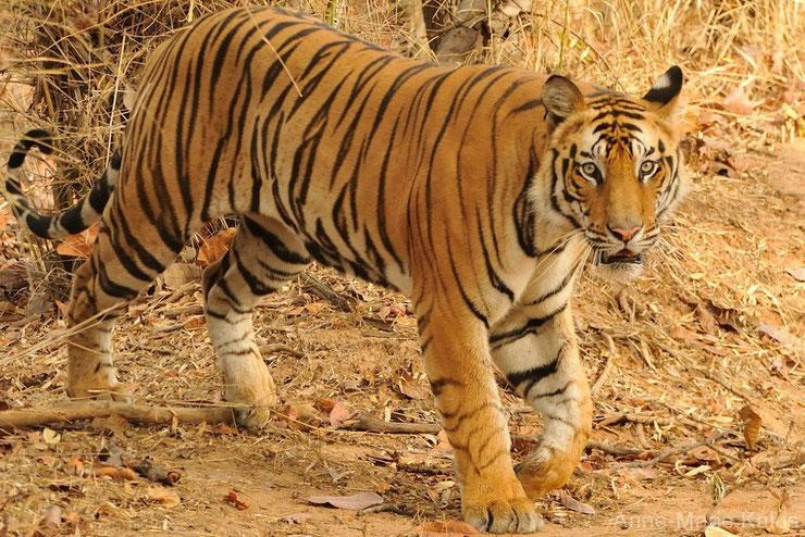 liste des animaux à rayures tigre