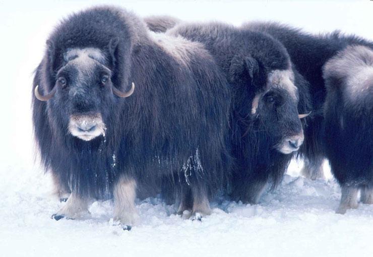 les animaux de la banquise et des cercles polaires pole sud nord arctique antarctique boeuf musque