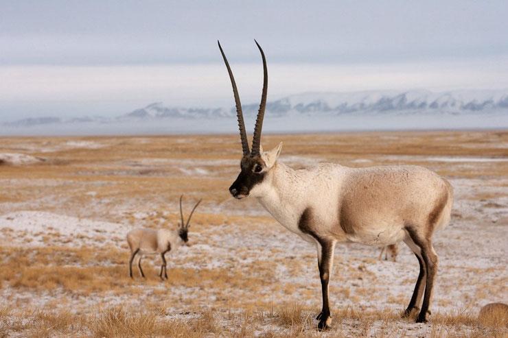 les animaux du Tibet chiru antilope du tibet