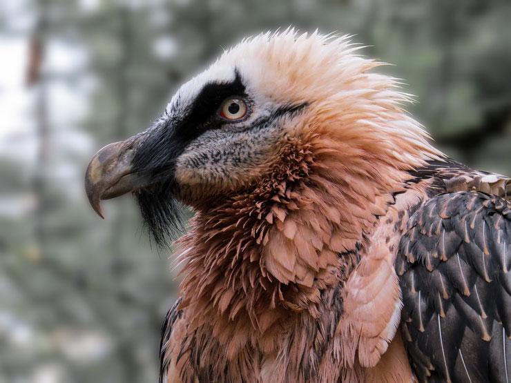 gypaete barbu fiche oiseaux animaux