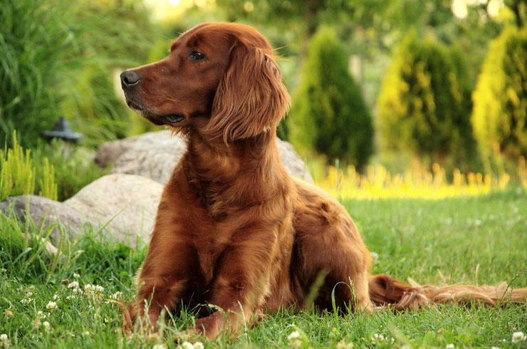 setter irlandais fiche chien animaux race caractere comportement origine poil couleur