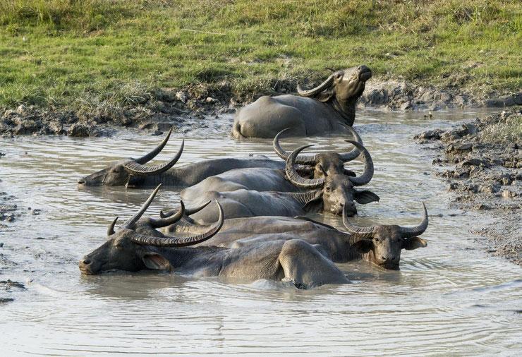 buffle asie buffle d'eau fiche animaux