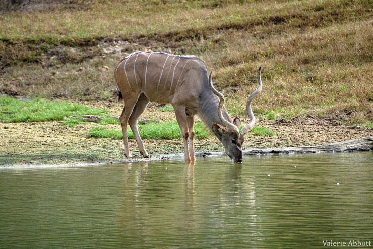 les antilopes d'Afrique grand koudou fiches animaux thematique habitat repartition poids taille alimentation reproduction
