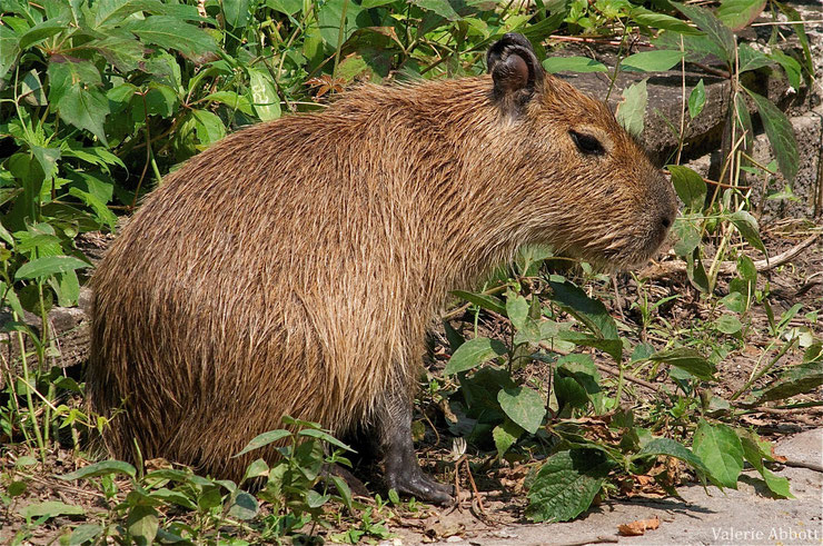 capybara cabiaï fiche animaux rongeur animal fact