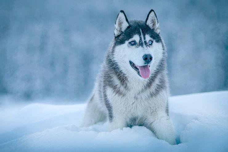 Siberian husky fiche chien animaux race caractere comportement origine poil couleur