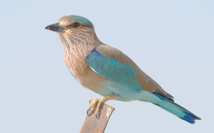 rollier indien fiche oiseau fact indian roller
