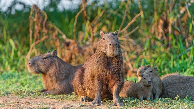 capybara cabiai famille bebe parent