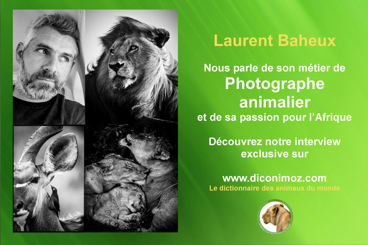 interview Laurent Baheux photographe animalier noir et blanc