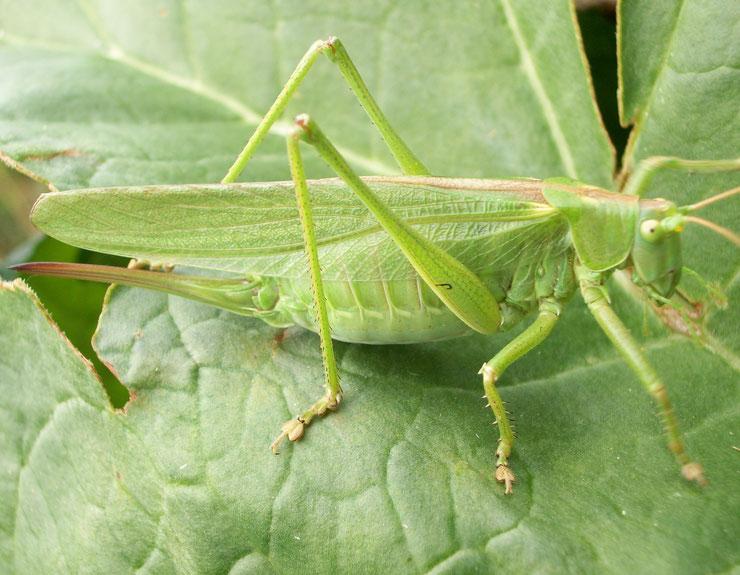 sauterelle verte fiche insecte animaux