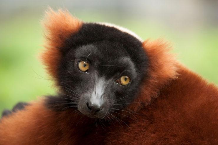 fiche identité animaux maki vari roux madagascar red ruffed lemur