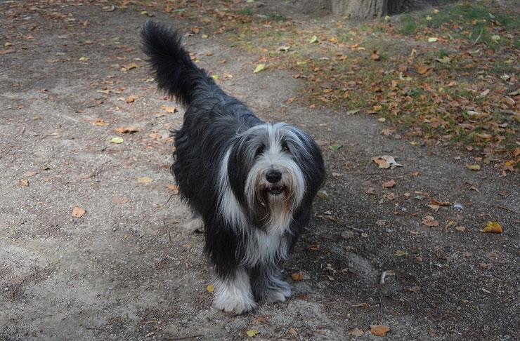 bobtail fiche chien animaux caractere comportement origine poil couleur