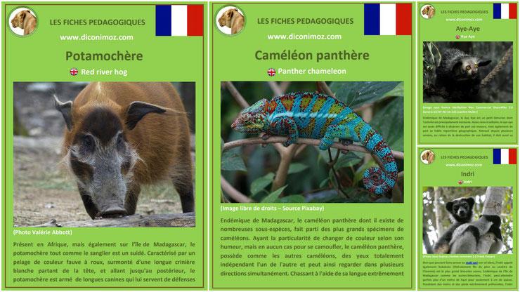 fiche animaux de madagascar à telecharger et a imprimer pdf habitat taille poids reproduction alimentation potamochere indri aye aye cameleon panthere