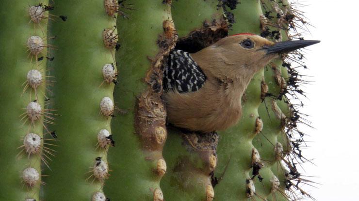pic flamboyant fiche animaux oiseaux colaptes auratus animal factq bird