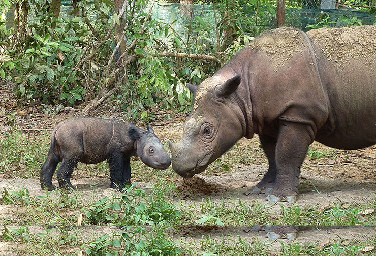 rhinoceros de sumatra fiche animaux indonesie animal fact sumatran rhinoceros