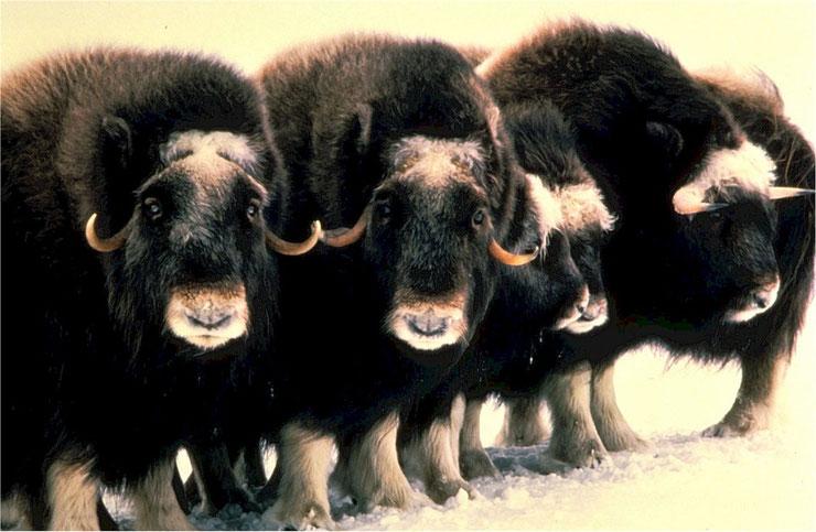 boeuf musqué fiche animaux canada alaska mammiferes bovides