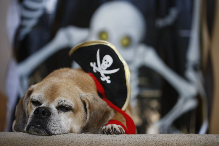 chien pirate squelette halloween