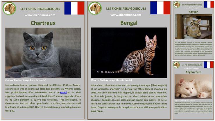 fiche animaux animal de compagnie  chat à telecharger et a imprimer pdf comportement origine caractere chartreux bengal angora turc abyssin