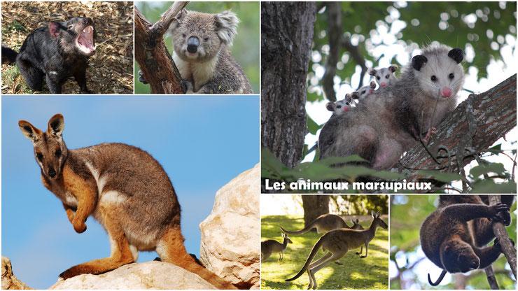 marsupiaux animal marsupial animaux australie poche connaissez vous les