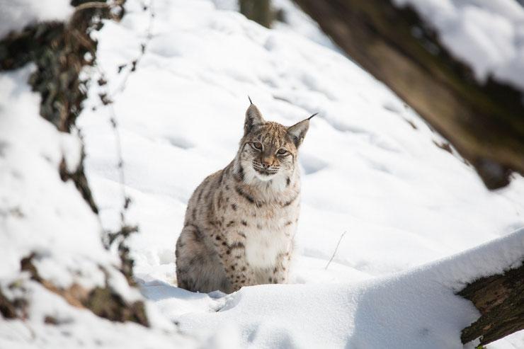 lynx dans la neige animaux animal bobcat felins sauvages
