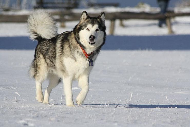 malamute fiche chien animaux origine caractere comportement poil couleur chien de traineaux