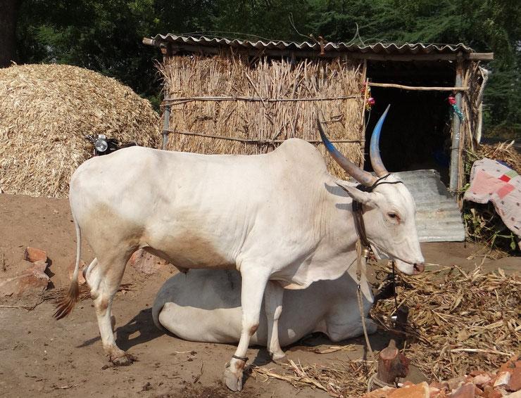 liste animaux emblematiques embleme pays inde vache sacree