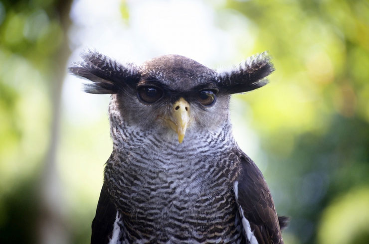 grand duc bruyant fiche animaux oiseaux indonesie habitat distribution