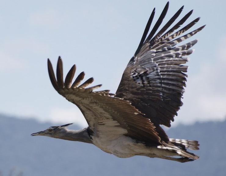outarde kori plus gros oiseaux du monde volant