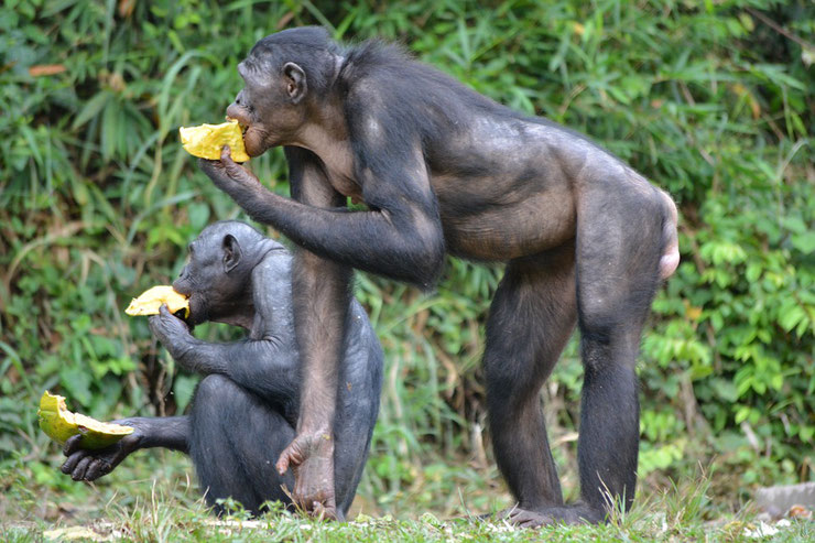 fiche animaux singes bonobo primates hominides afrique animal facts monkey