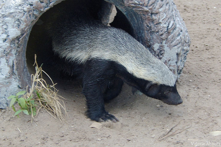 ratel fiche animaux honey badger animal facts
