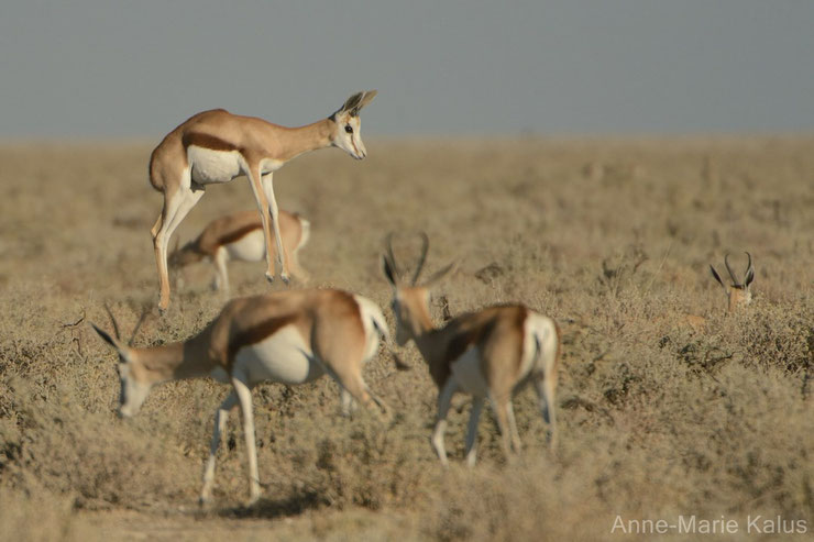 es antilopes d'Afrique springbok fiches animaux thematique habitat repartition poids taille alimentation reproduction