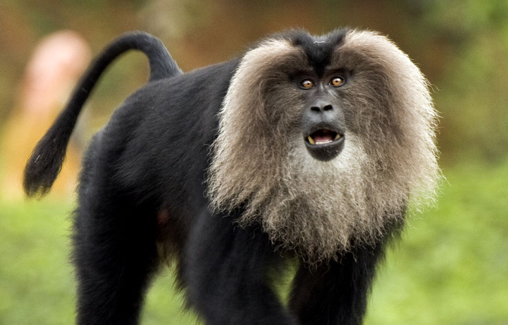 ouanderou fiche animaux singe macaque queue de lion